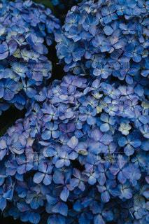 紫陽花の写真・画像素材[3369285]