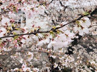 満開の桜の写真・画像素材[2161454]