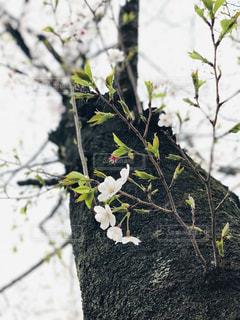 桜の木の写真・画像素材[2161455]
