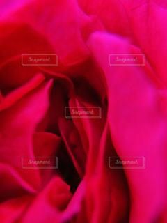 バラの花びらの写真・画像素材[2161460]