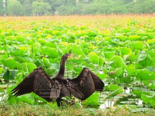 緑の池と黒い鳥の写真・画像素材[2172163]