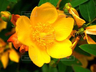 公園に咲いてた黄色い花の写真・画像素材[2173955]