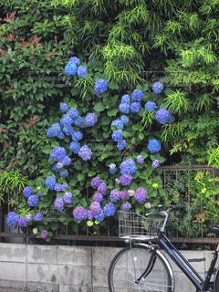 紫陽花と自転車の写真・画像素材[2174030]