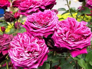 インパクトのあるバラの写真・画像素材[2180613]