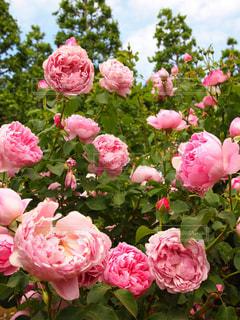群れる薔薇の写真・画像素材[2180615]