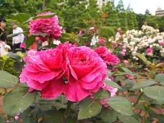 春らしい薔薇の写真・画像素材[2180616]
