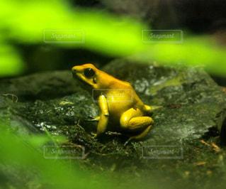 黄色の毒ガエルの写真・画像素材[2190233]