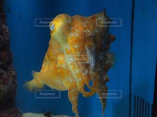 イカを真正面からの写真・画像素材[2190234]