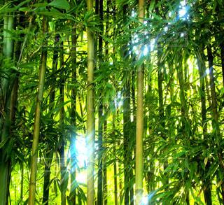 竹林と日差しの写真・画像素材[2213065]