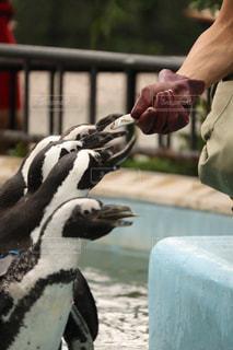 ペンギンの餌やりの写真・画像素材[2409781]