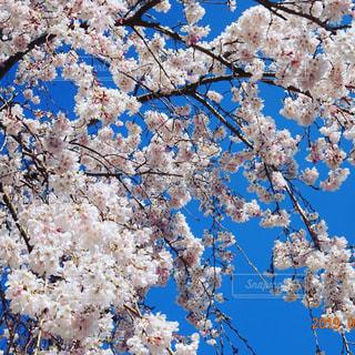 青空と桜の写真・画像素材[2161575]