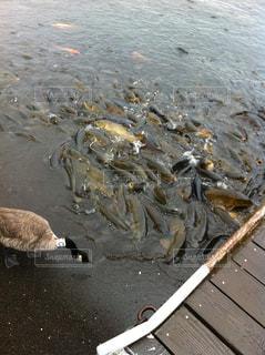 カモメの群れが水面に立っているの写真・画像素材[2172384]