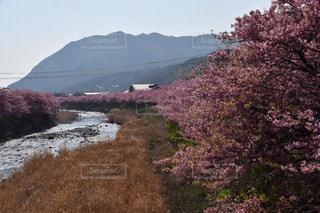 河津桜の写真・画像素材[2186373]