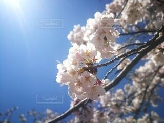 快晴の日の満開の桜の写真・画像素材[2166727]