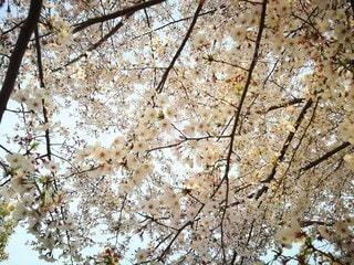 満開の桜の写真・画像素材[2166745]