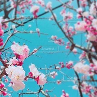 快晴と梅の花の写真・画像素材[2166769]