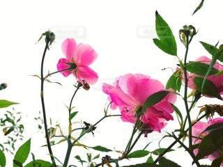 ピンクの花の写真・画像素材[2166938]
