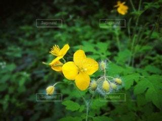 黄色の可愛い花の写真・画像素材[2166950]