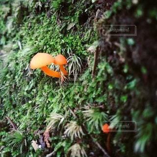 オレンジのキノコの写真・画像素材[2166960]