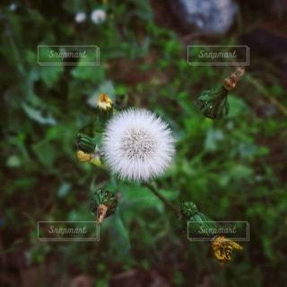 ふわふわの植物の写真・画像素材[2167140]