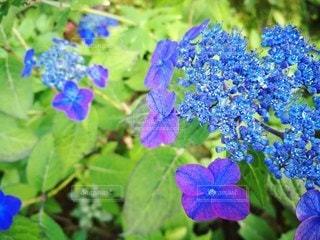 紫陽花の写真・画像素材[2167160]