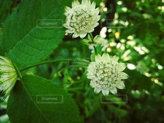 白い花の写真・画像素材[2167153]