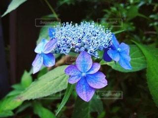 紫陽花の写真・画像素材[2167154]
