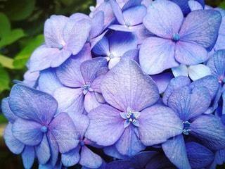 紫の紫陽花の写真・画像素材[2167190]