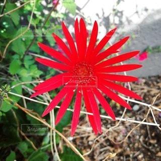 真っ赤な花の写真・画像素材[2167194]