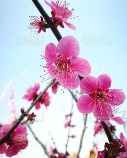 梅の写真・画像素材[2167191]
