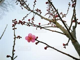 一輪の梅の写真・画像素材[2167192]