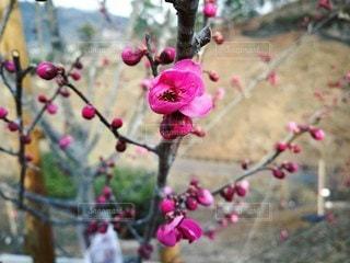 梅の写真・画像素材[2167193]