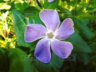 星マークの花の写真・画像素材[2167277]