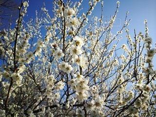 梅の写真・画像素材[2167400]