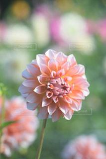 花の写真・画像素材[2167691]