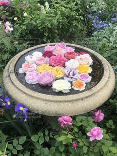 水鉢の薔薇の写真・画像素材[2172398]