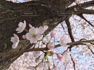 木の枝に咲く花の写真・画像素材[2170475]