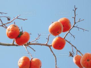 柿の写真・画像素材[2174361]