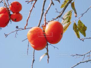 柿の写真・画像素材[2174362]