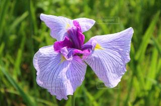 ハナショウブの花 紫の花の写真・画像素材[2173388]