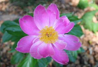 ピンクの花の写真・画像素材[2173390]