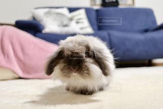白いウサギの写真・画像素材[2196161]