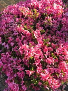 つつじの花のクローズアップの写真・画像素材[2179006]