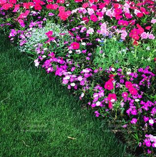 芝生と紫のお花の写真・画像素材[2175084]