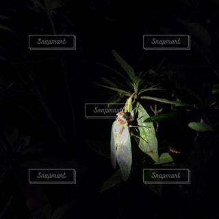 羽化したばかりのセミの写真・画像素材[2175088]