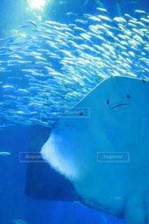 水中で泳いでいるエイの裏側の写真・画像素材[2177394]