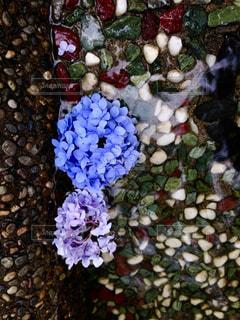 水に浮かぶ紫陽花のクローズアップの写真・画像素材[2196724]