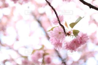 桜のピンクの花の写真・画像素材[2427559]