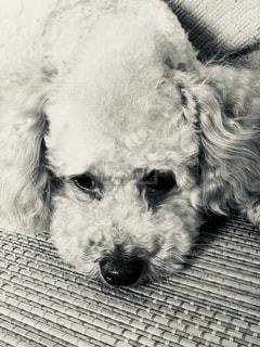犬の接写の写真・画像素材[2175276]