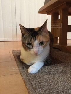 猫の写真・画像素材[84671]
